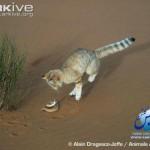 ARKive image GES026442 - Sand cat