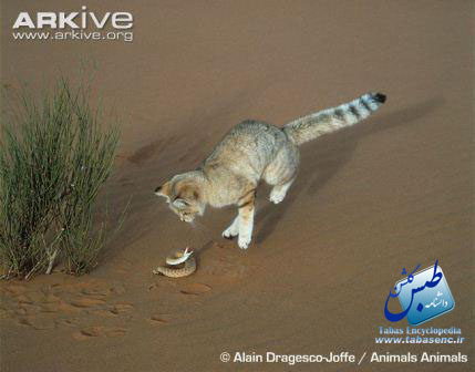ARKive image GES026442 - Sand cat