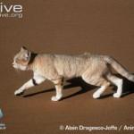 ARKive image GES026443 - Sand cat