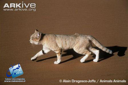 ARKive image GES026443 - Sand cat