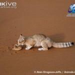 ARKive image GES026444 - Sand cat