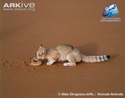 ARKive image GES026444 - Sand cat