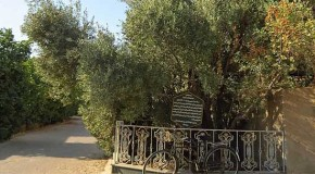 درخت تاریخی زیتون طبس