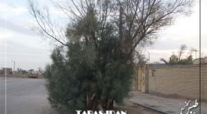 درخت گز